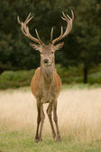 Deer Stag, with antlers — Stock Photo
