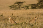 Opposing cheetahs — Stock Photo
