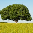 single tree in canola field — Stock Photo