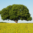 Stock Photo: Single tree in canolfield