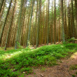 Pine forest — Stock Photo #2006948