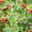 Briar fruits and branches — Stock Photo