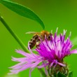 Bee at work — Stock Photo
