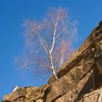 Tree grown in stone — Stock Photo