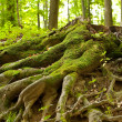 Tree roots - Foto Stock