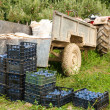 Royalty-Free Stock Photo: Boxes with plums near tractor