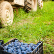 Boxes with plums near tractor — Stock Photo