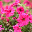 Geranium — Stock Photo #2011513