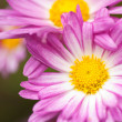 Pink flowers — Stock Photo #2012333
