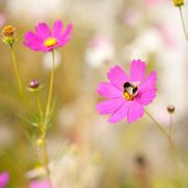 Bumblebee and cosmos flowers — Stock Photo