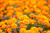 Geranium oranžové květiny — Stock fotografie