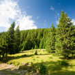 Pine trees forest — Stock Photo