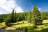 çam ağaçları orman — Stok fotoğraf