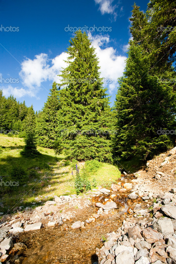 Creek flowing through a pine forest in mountains  Stock Photo #2209988