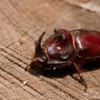 Stock Photo: Rhinoceros beetle