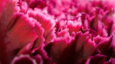 Inside of a carnation flower (dianthus) — Stock Photo