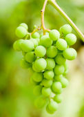 Green grapes bunch — Stock Photo