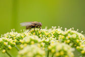 Fly pollenizing flowers — Stock Photo