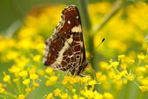 Brown butterfly pollenizing flowers — Stock Photo