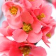 Japanese flowering quince - Stock Photo