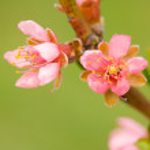 Peach flowers — Stock Photo