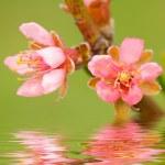 Peach tree flowers — Stock Photo