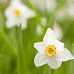 Daffodils (Narcissus) — Stock Photo