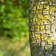 Tree bark — Stock Photo #2243832