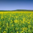 Rape field — Stock Photo #2243977