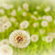 Field of dandelions — Stock Photo #2244920