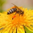Bee collecting nectar — Stockfoto