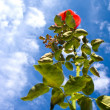 Beautiful rose agains blue sky - Stock Photo