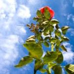 Beautiful rose agains blue sky — Stock Photo