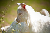 Cute baby goat — Stock Photo