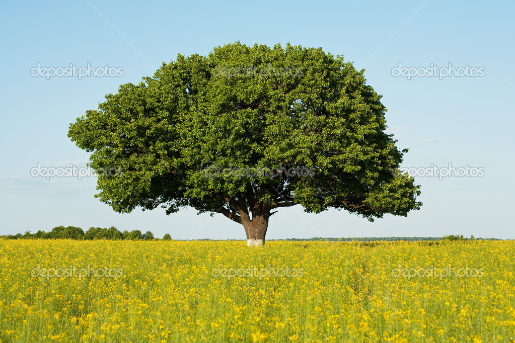 Single tree in a canola field under blue sky — Stock Photo #2244554