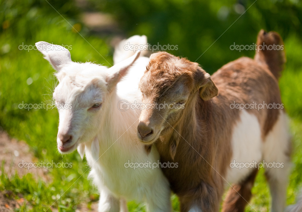 Cute baby goats playing — Stock Photo © Xalanx #2244918