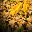 Golden leaf over dead leaves carpet — Stock Photo #2250834