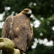 Eagle on branch - Stockfoto