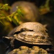 Turtles resting - Stock Photo