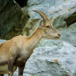 Mountain goat — Stock Photo #2254259