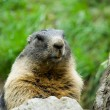 Cute marmot — Stock Photo #2254280