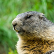 Cute marmot — Stock Photo