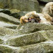 Macaques - Photo