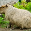 Capybara - Stock Photo