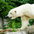 Polar bear — Stock Photo #2254348