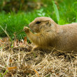 Prairie dog — Stock Photo #2254351