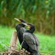 Cormorants nesting - Stock Photo