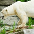 Polar bear — Stock Photo #2254359