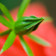 Stock Photo: Japanese rose bud