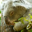 Koala in a tree - Stock Photo